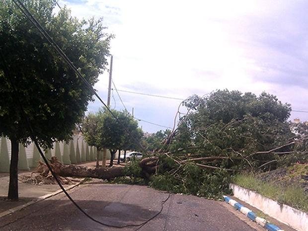 Árvore foi derrubada por forte temporal que ocorreu na sexta-feira (21) (Foto: Leonel Alves)