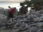 Em 3 semanas, pescadores capturam 980 toneladas de tainha em SC
