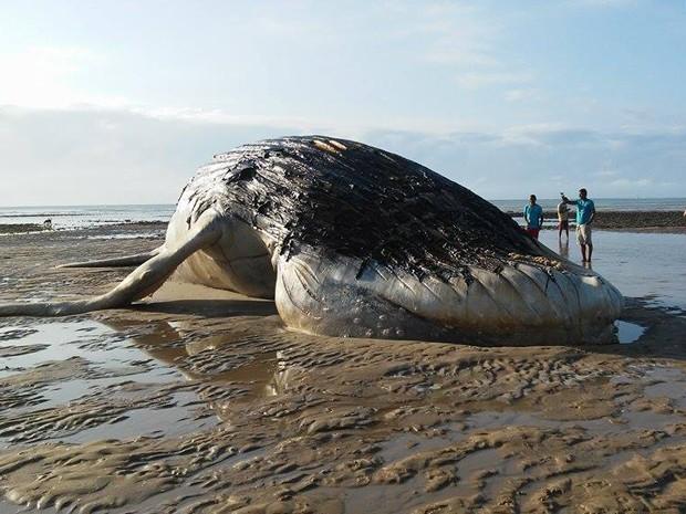 Segundo Instituto Baleia Jubarte, encalhe de baleias éw comum nesta época do ano (Foto: Rosiane Jesus/Site Prado Notícia)