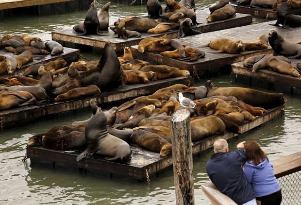 Leões-marinhos superlotaram as docas flutuantes do cais 39 em San Francisco (Foto: Robert Galbraith/Reuters)