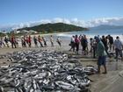 Safra 2016 termina com a captura de 3,5 mil toneladas de tainha em SC