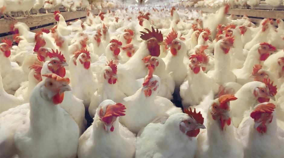 Frangos: empresa vai ampliar o abate diário de 70 mil para 120 mil aves (Foto: Reprodução)