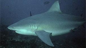 Tubarão-touro (Foto: BBC)