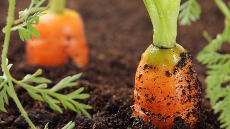 cenoura-organica-horta-agroecologia-sustentabilidade-meio-ambiente-lavoura (Foto: USDA/CCommons)