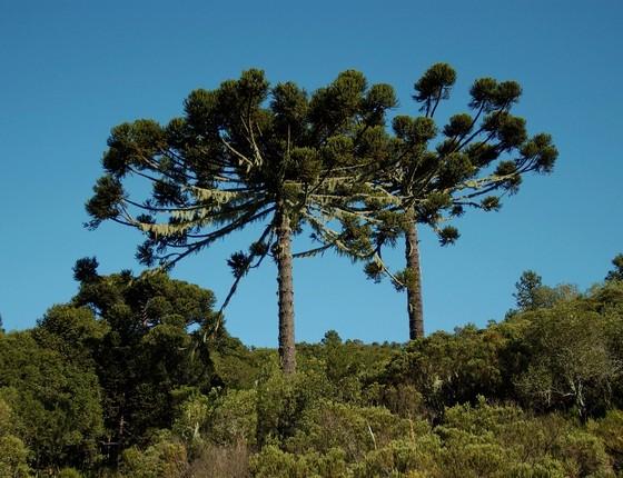 Araucária, espécie de árvore ameaçada de extinção (Foto: Haroldo Palo Junior)