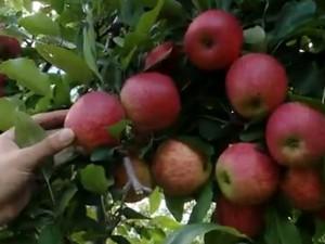Safra de maçã anima produtores (Foto: Reprodução/RBS TV)