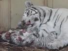Zoo anuncia nascimento de quatro leões brancos e três tigres brancos