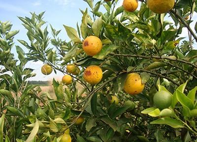 laranja-citros-cvc (Foto: Divulgação/Fundecitrus)