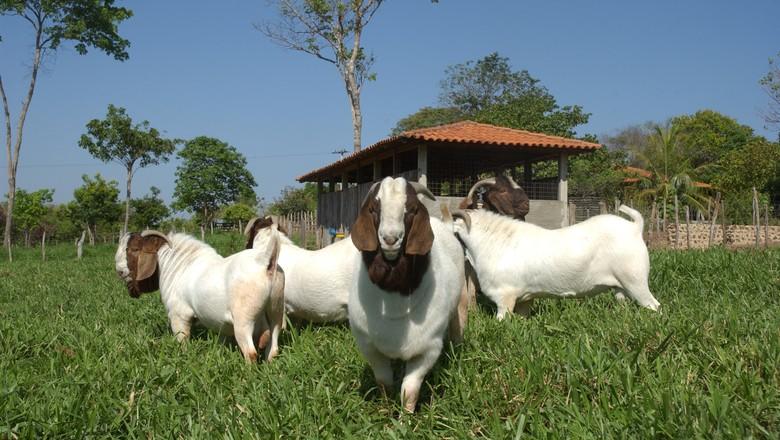 caprinocultura-boer-caprino-piauí (Foto: Ernesto de Souza/Ed. Globo)