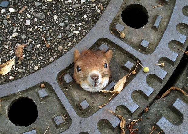 Esquilo precisou ser resgatado após entalar a cabeça em uma tampa de bueiro. (Foto: DPA/AFP)