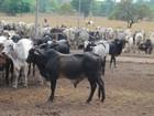 Produtores do Tocantins têm até dia 30 para vacinar rebanho contra a raiva