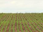 No PR, agricultores retomam o plantio das culturas de inverno
