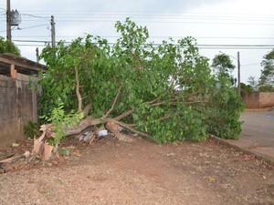 Várias árvores caíram na cidade durante a chuva (Foto: Magda Oliveira/ G1)