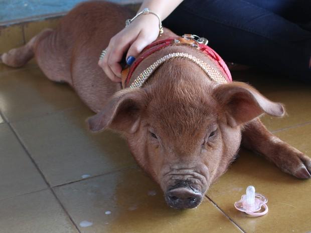 Porquinha 'Lola Morgana', com 3 meses e 11 kg, foi presente para a família. (Foto: Nathalia Lorentz/G1)