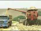 Em MG, produtividade do milho segunda safra agrada, apesar da seca
