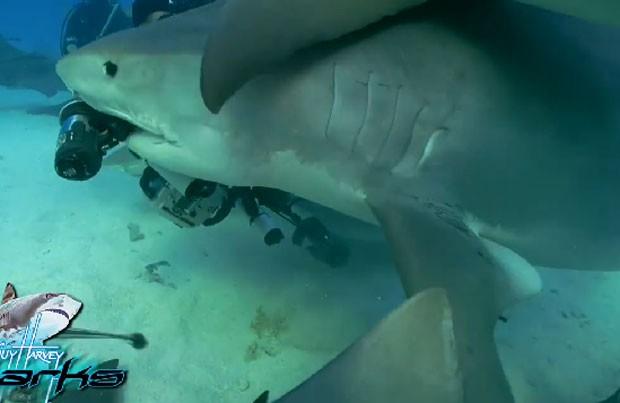 Cena ocorreu quando grupo de pesquisadores mapeava tubarões-tigre na costa de Bahamas (Foto: Reprodução/Facebook/Guy Harvey)