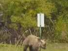 Urso é filmado se coçando em poste em parque no Alasca