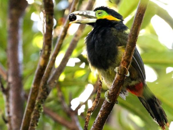 Araçari-poca - Globo Ecologia - Observação de Aves (Foto: Divulgação/Guilherme Battistuzzo)