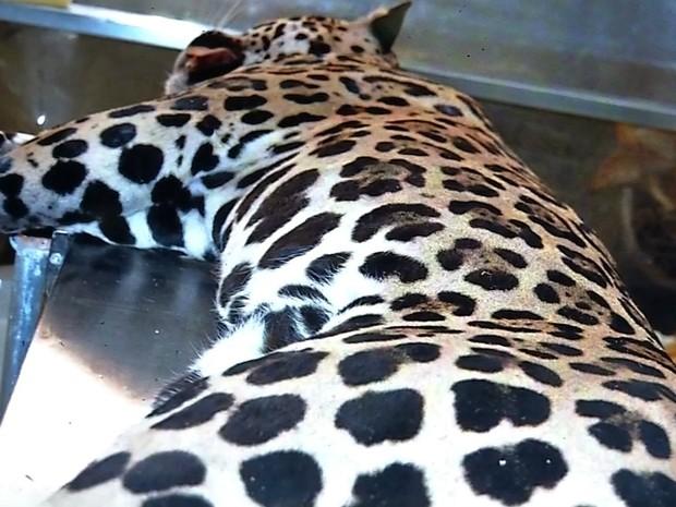 Corpo do animal foi doado para o campus da UFMT do município para pesquisas (Foto: Reprodução/ TVCA)