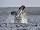 ONG alerta sobre morte de baleias-francas na Patagônia argentina