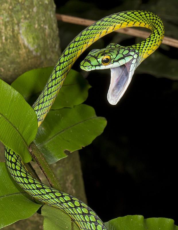 Cobra Bolívia Madidi (Foto: Mileniusz Spanowicz/WCS)