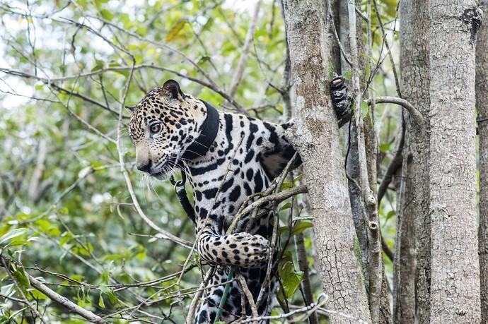 """'Ele não deixou de ser um animal selvagem, apenas se acostumou com a nossa presença"""", enfatizou o sargento Klebson (Foto: Michell Melo)"""
