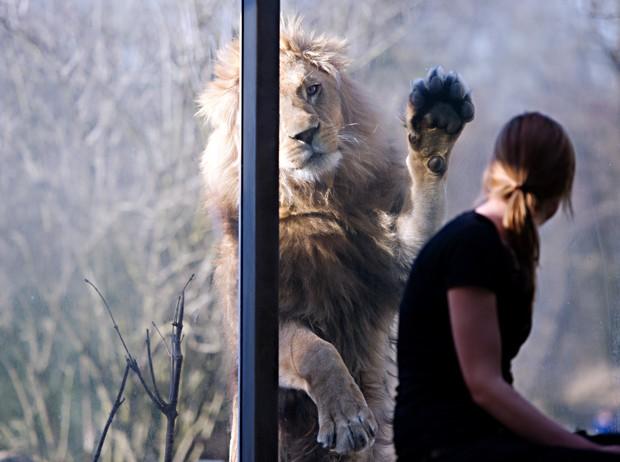 Leão tenta dar 'high five' em funcionária de zoológico Hellabrunn em Munique, na Alemanha (Foto: Nicolas Armer, DPA/AFP)