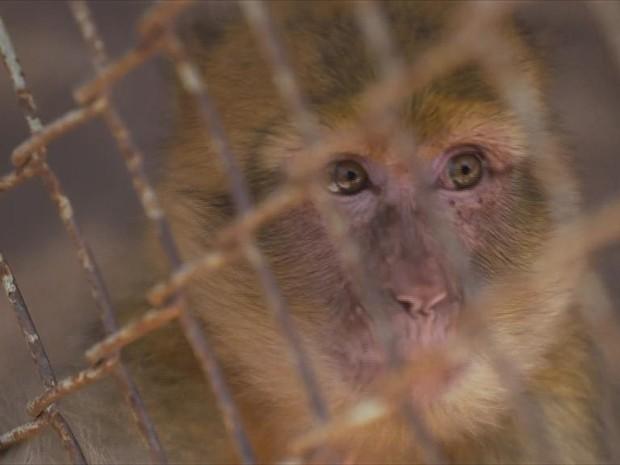 Macacos serão levados para parque na vizinha Jordânia (Foto: BBC)