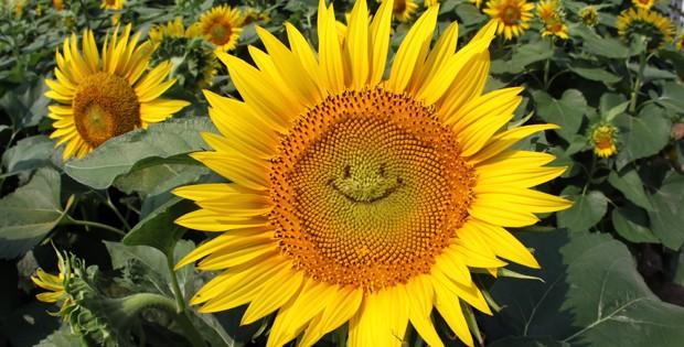 Jardim tem girassóis 'sorridentes' no Japão (Foto: Yoshikazu Tsuno/AFP/Getty Images)
