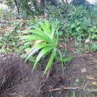 Palmitos deixam de ser usados para proteger natureza (Pedro Carlos Leite/G1)