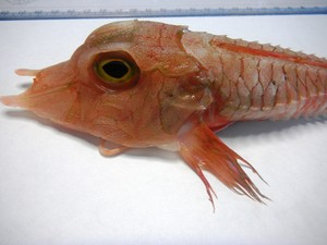 Peixe de águas profundadas foi pescado acidentalmente em Ubatuba (Foto: Divulgação / Aquário de Ubatuba)