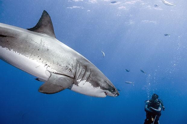 Daniel ao lado de tubarão branco (Foto: Daniel Botelho)