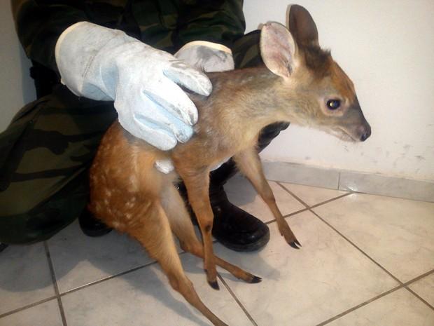 Filhote de cervo é recolhido em Domingos Martins (Foto: Divulgação/Polícia Militar Ambiental)