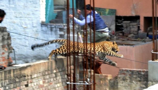 Leopardo que foi visto em área residencial tenta escapar de agentes na cidade indiana de Meerut (Fot STR/AFP)