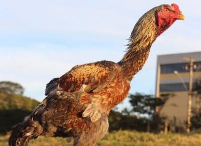 aves-galo-indio-gigante (Foto: Divulgação/Diamante Índio Gigante)