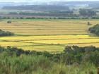 Fazenda gaúcha produz arroz de qualidade sem agrotóxico e adubos