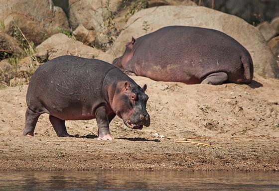 Um hipopótamo descansa na areia quanto outro caminha na margem do rio Ruaha  (Foto: © Haroldo Castro/ÉPOCA)