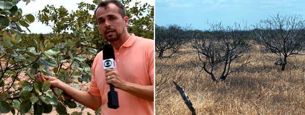 Repórter mostra as consequências da estiagem para a produção de caju no interior do Piauí  (Foto: reprodução/ TV Clube)