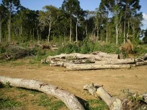 Área desmatada possuia árvores em extinção (Foto: Divulgação)