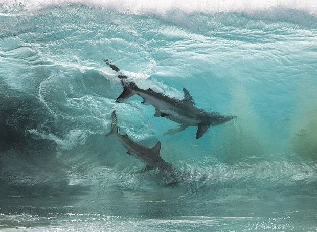 tubarão (Foto: Divulgação/Sean Scott)