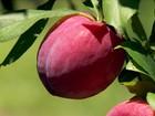 Agricultores trabalham na colheita de pêssego e ameixa em pomares do RS