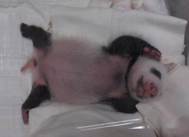 O filhote está em uma incubadora no zoológico. Sua mãe ficou grávida em março, na sétima tentativa de inseminação artificial feita pelo zoológico. O pequeno animal está prestes a completar um mês de vida (Foto: Zoológico Municipal de Taipei/AFP)