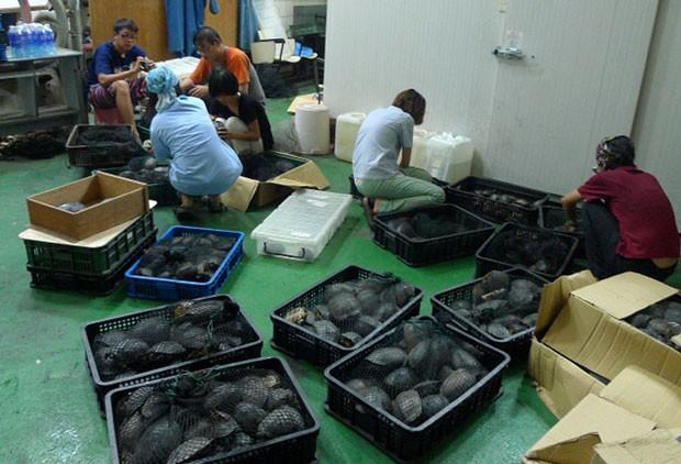 Taiwan apreendeu mais de 2.500 tartarugas que virariam comida na China (Foto: Taiwan Forestry Bureau/AFP)