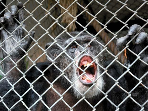 Foto de outubro mostra o chimpanzé Tommy em sua jaula em Gloversville, Nova York (Foto: AP Photo/The Leader-Herald, Bill Trojan)