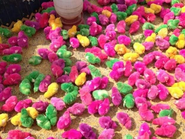 Pintinhos coloridos artificialmente são vendidos em feira popular em Ipatinga. (Foto: Poliana Alves / VC no G1)