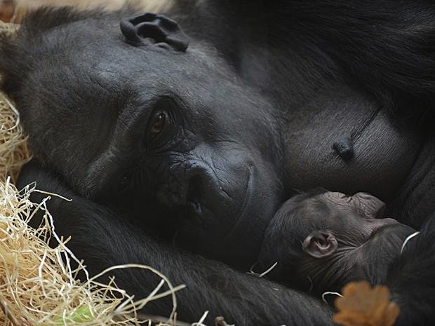 Gorila (Foto: Michal Cizek/AFP)