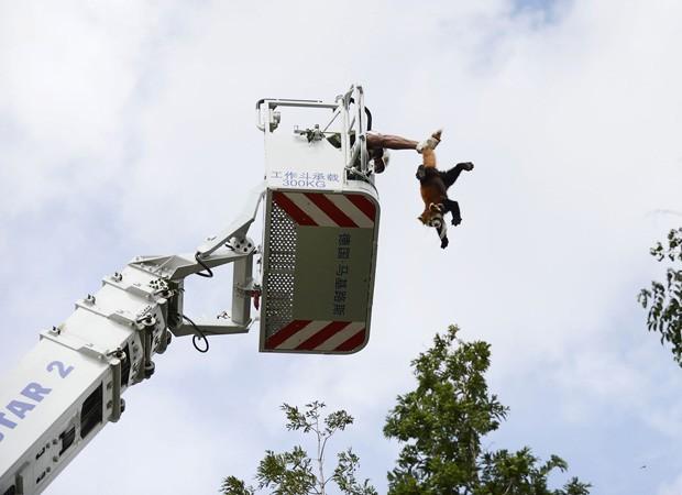 Equipe precisou de plataforma aérea para fazer com que bicho voltasse ao chão em segurança (Foto: Stringer/Reuters)