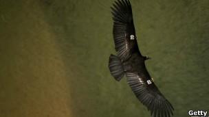condor-da-califórnia é atualmente considerado pela União Internacional para a Conservação da Natureza como criticamente ameaçado de extinção (Foto: Gettyimages/BBC)