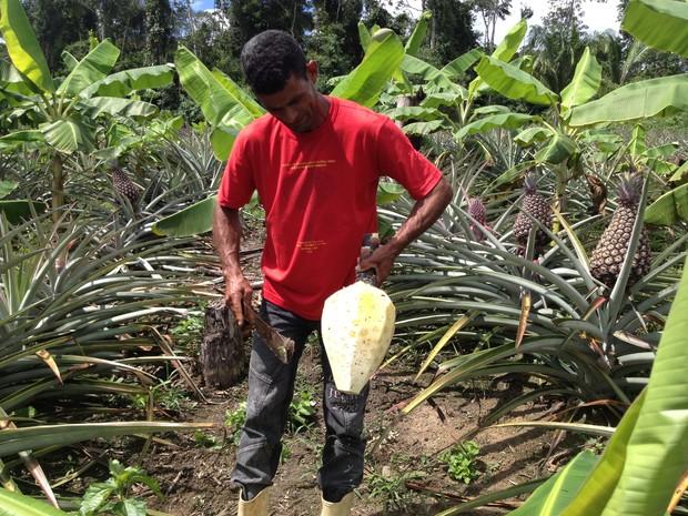 abacaxi gigante acre 4 (Foto: Duaine Rodrigues/G1)