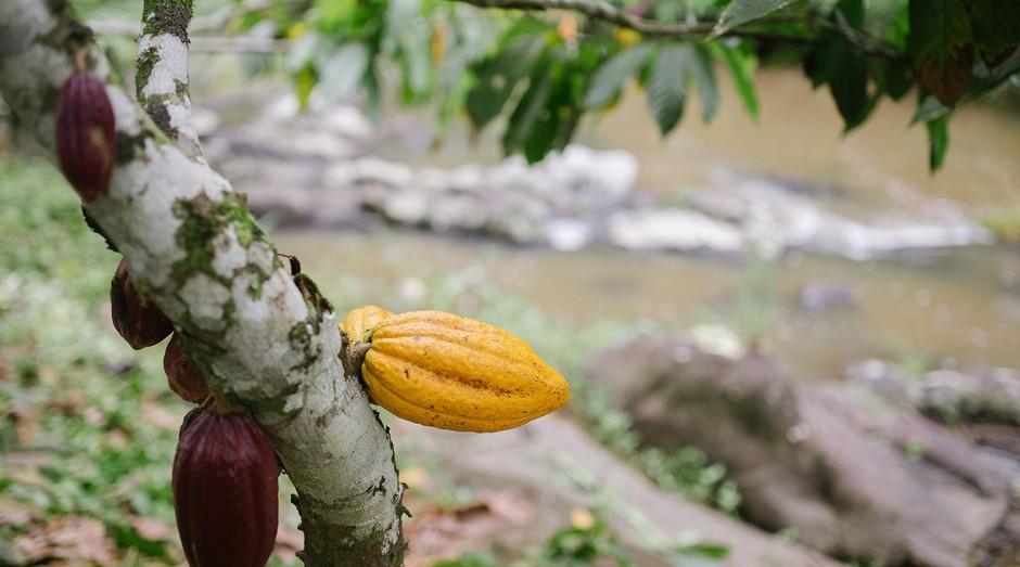 1.Fruta no pé: na Fazenda Riachuelo, em Ilhéus, 5% de plantação de cacau vão para a fábrica da Mendoá. O restante é vendido na forma de amêndoas torradas (Foto: Divulgação/Ana Lee)